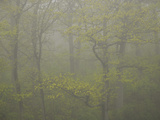 Early Spring Trees on Foggy Maine Morning Photographic Print by Nance Trueworthy