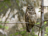A Spotted Owl (Strix Occidentalis) in Los Angeles County, California. Photographic Print by Neil Losin