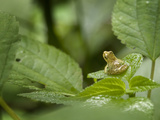 Spring Peeper, Hyla Crucifer Photographic Print by Clay Bolt