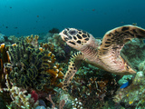 Hawksbill Turtle Foraging on Sponges and Soft Corals...Shot in Indonesia Photographic Print by Jeff Yonover