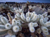 Teddy Bear Cactus or Jumping Cholla in Joshua Tree National Park, California Photographic Print by Ian Shive