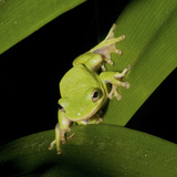 American Tree Frog in a Garden in Fuquay Varina, North Carolina Photographic Print by Melissa Southern