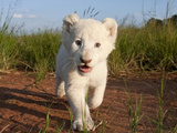 Adorable Portrait of a White Lion Cub Walking and Smiling with Direct Eye Contact. Photographic Print by Karine Aigner