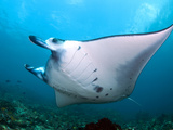 Giant Manta Feeding in the Current..Shot in Indonesia Fotografie-Druck von Jeff Yonover