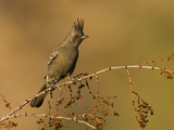 A Female Phainopepla (Phainopepla Nitens) in the Southern California Desert. Photographic Print by Neil Losin