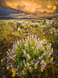Lupine Wildflowers and Thunderstorm Photographic Print by Mike Cavaroc