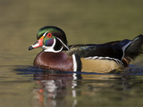 A Male Wood Duck (Aix Sponsa) on a Small Pond in Southern California. Photographic Print by Neil Losin