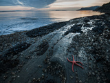Starfish.  Puget Sound. Washington. Photographic Print by Steven Gnam
