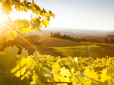 Healdsberg, Sonoma County, California: Sunset on Northern California Vineyards. Lámina fotográfica por Ian Shive