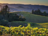 Ian Shive - Healdsberg, Sonoma County, California: Vineyard and Winery at Sunset. Fotografická reprodukce