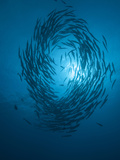 Schooling Barracuda..Shot in Indonesia Photographic Print by Jeff Yonover