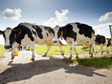Cows Crossing the Road in the Dutch Countryside North of Amsterdam, Netherlands. Photographic Print by Carlo Acenas
