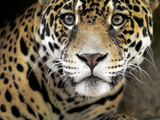 A Jaguar Stares Intensely into the Camera. Photographic Print by Karine Aigner