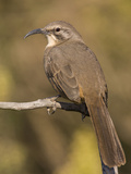 A California Thrasher (Toxostoma Redivivum) in the Southern California Chaparral. Photographic Print by Neil Losin