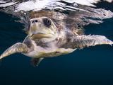 Close Up of a Loggerhead Turtle Found 5 Miles Off the Coast of Ixtapa, Mexico. Photographic Print by Christian Vizl