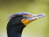 Double Crested Cormorant Photographic Print by Ethan Welty