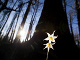 Seen at Sunset Avalanche Lilies in the Burned Forest North of Mt. Hood, Oregon. Photographic Print by Patrick Brooks Brandenburg