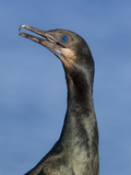 A Brandt'S Cormorant (Phalacrocorax Penicillatus) on the Southern California Coast. Photographic Print by Neil Losin