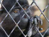 A Black Crested Mangabey Monkey Holds onto the Bars of its Cage, and Sadly Stares Out. Photographic Print by Karine Aigner