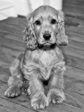 Dog Breeds - Cocker Spaniel - Puppies - English Cocker Photographic Print by Philippe Hugonnard