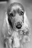 Dog Breeds - Cocker Spaniel - Puppies - English Cocker Photographic Print by Philippe Hugonnard