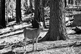 Wild deer - Yosemite National Park - Californie - United States Photographic Print by Philippe Hugonnard