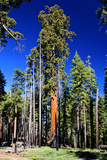 Sequoia - Mariposa Grove Museum - Yosemite National Park - Californie - United States Photographic Print by Philippe Hugonnard