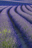 Curvy Lavender Field Near Roussillon in the Luberon, Provence, France Photographic Print by Brian Jannsen