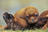 Southern Sea Lion or Patagonian Sea Lion Sleeping, Falkland Islands Photographic Print by Martin Zwick