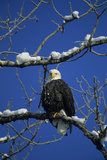 Bald Eagle, Chilkat River, Haines, Alaska, USA Photographic Print by Gerry Reynolds