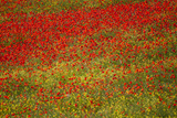 Poppy Fields in Full Bloom, Tuscany, Italy Photographic Print by Terry Eggers