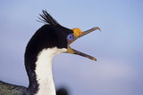 Birds, Imperial Shag / King Shag, Portrait, Falkland Islands, Bleaker Island Photographic Print by Martin Zwick