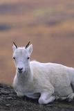 Dall Sheep Wildlife, Ewe, Denali National Park, Alaska, USA Photographic Print by Gerry Reynolds
