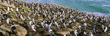 Bird, King Cormorant or Imperial Shag, Colony on Saunders Island, Falkland Islands Photographic Print by Martin Zwick