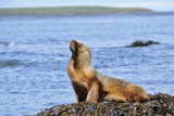 Southern Sea Lion or Patagonian Sea Lion, Female, Kelp, Falkland Islands Photographic Print by Martin Zwick