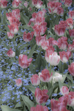 Spring Tulips of Red and White Color, Victoria, British Columbia, Canada Photographic Print by Terry Eggers