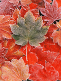 Frozen Autumn Leaves, Close-Up Photographic Print by Stuart Westmorland
