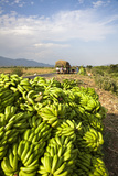 Harvested Banana Load, Agriculture, Rift Valley, Ethiopia Photographic Print by Martin Zwick