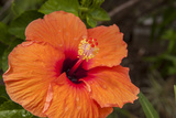 Hibiscus Flower, Cozumel, Mexico Photographic Print by Jim Engelbrecht