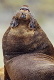 Southern Sea Lion or Patagonian Sea Lion, Young Bull, Falkland Islands Photographic Print by Martin Zwick