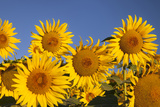Bright Sunflowers Near Saint Remy Do-Provence, France Photographic Print by Brian Jannsen