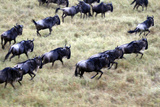 Wildebeest Wildlife Migration in the Maasai Mara, Kenya, Africa Photographic Print by Kymri Wilt