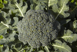 Broccoli Growing in the Garden Photographic Print by David Wall