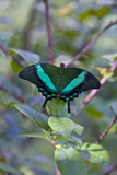 Emerald Swallowtail Butterfly, Native to the Philippines Bohol Island, Philippines Photographic Print by Keren Su