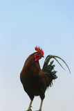Rooster, Banaue, Ifugao Province, Philippines Photographic Print by Keren Su