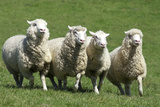 Romney Flock of Sheep, New Zealand Reproduction photographique par David Noyes