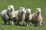 Romney Flock of Sheep, New Zealand Fotoprint van David Noyes
