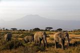Elephants and Mt Kilimanjaro, Amboseli, Kenya, Africa Fotografie-Druck von Kymri Wilt