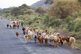 Herd of Farm Cattle on Country Road in Rift Valley, Ethiopia Photographic Print by Martin Zwick