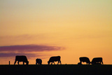 Cows at Sunset, Near Waimate, South Canterbury, South Island, New Zealand Photographic Print by David Wall